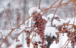 Frozen grapes ready for harvest. Photo courtesy of Kristen Green PR.