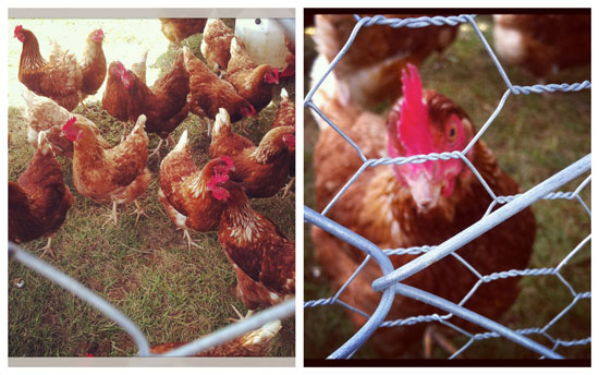 Clutches of Cornish Croft chickens.